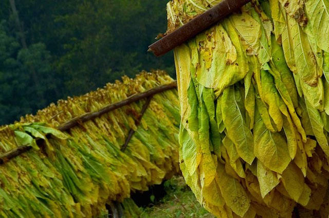 Read more about the article Tobacco: A Forgotten Healing Plant