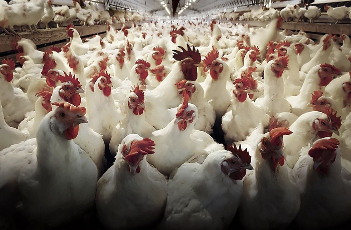 Leading Poultry Producer Cuts Nearly All Antibiotic Use