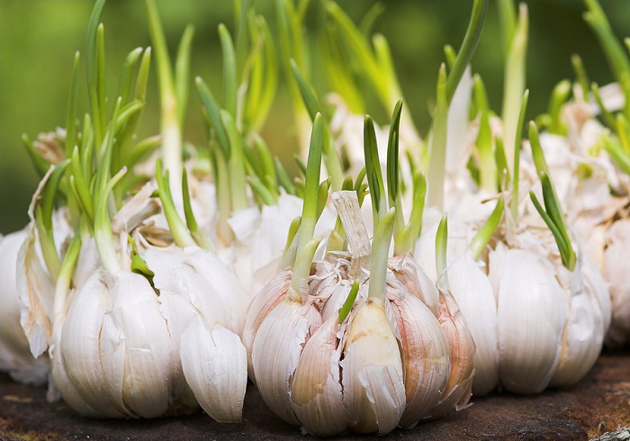 Read more about the article Sprouted Garlic and Its Amazing Benefits: Don't Throw It Away!