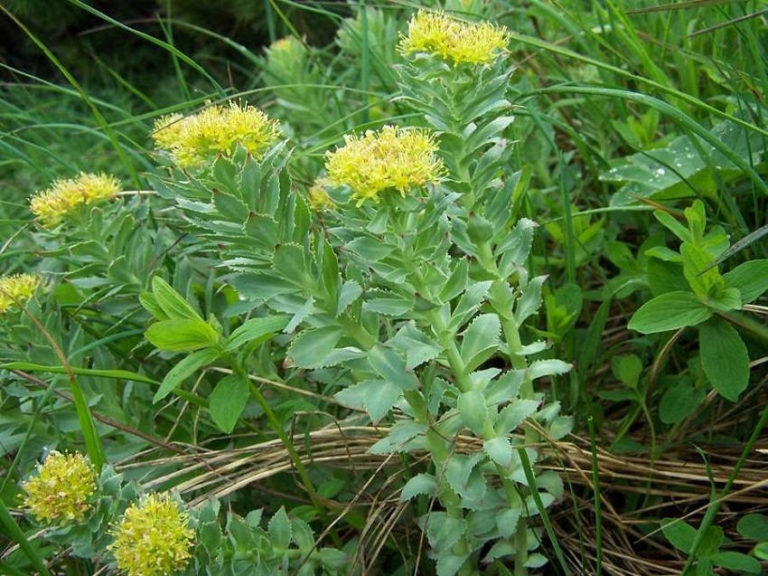 Rhodiola Rosea: This Ancient Herb Is a Natural Antidepressant
