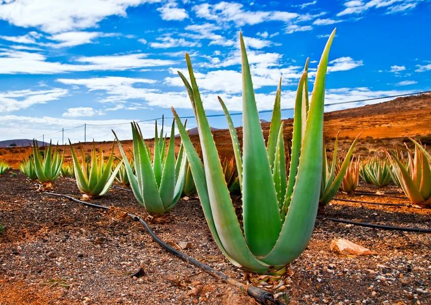 The Aloe Vera plant is nature's little gift to us. Despite all that