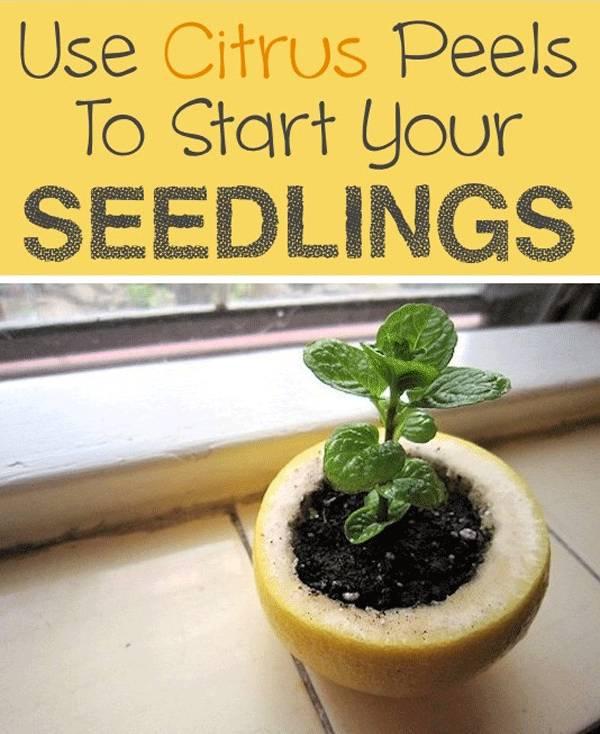 Grow your seedlings on citrus peels