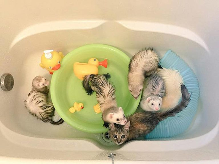 Read more about the article Rescued Stray Kitten Growing up with 5 Ferrets Thinks She's a Ferret Too