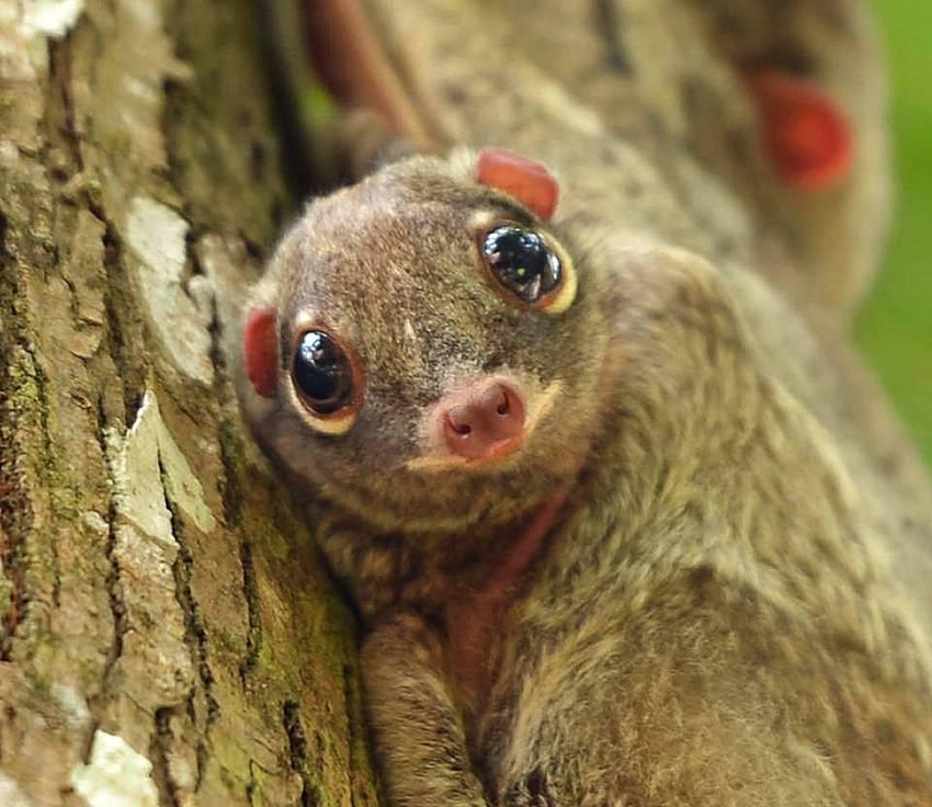 Sunda Colugo - strange animals
