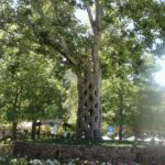 03-Axel Erlandson tree park
