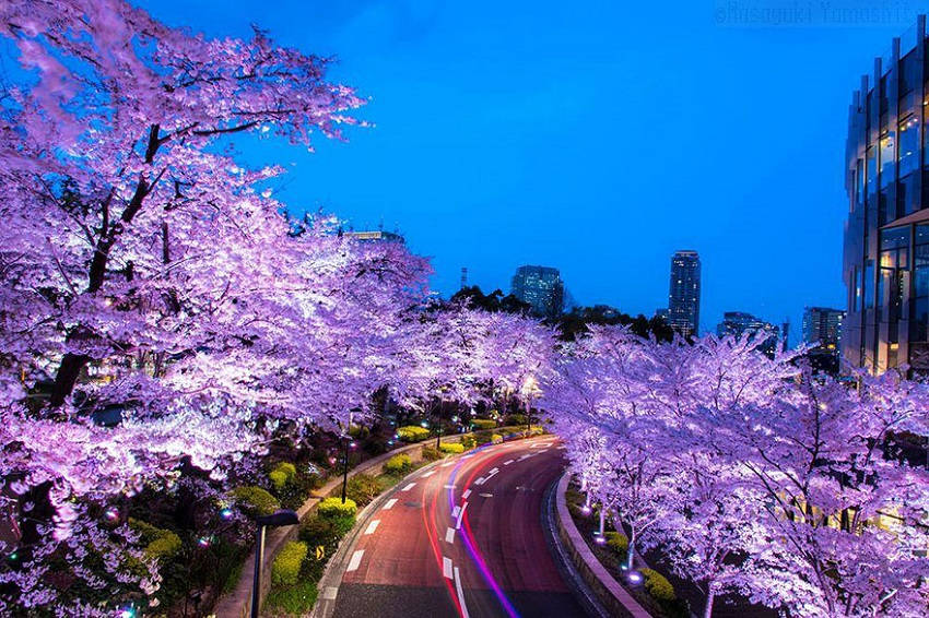 Pink sakura and pink line - spring-japan-cherry-blossoms-national-geographics