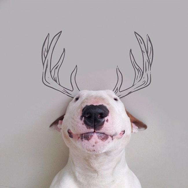 Jimmy Bull Terrier 4