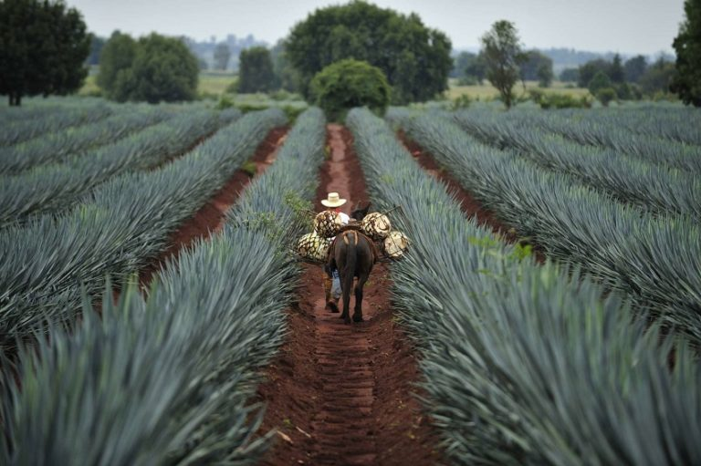 Tequila Plant Sweetener Could Help Diabetics Control Blood Sugar and Lose Weight