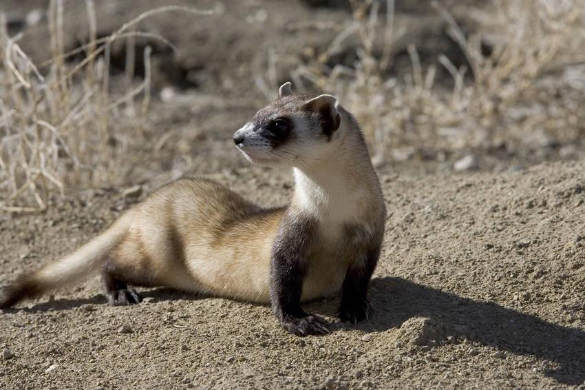 Black footed ferret endangered animals