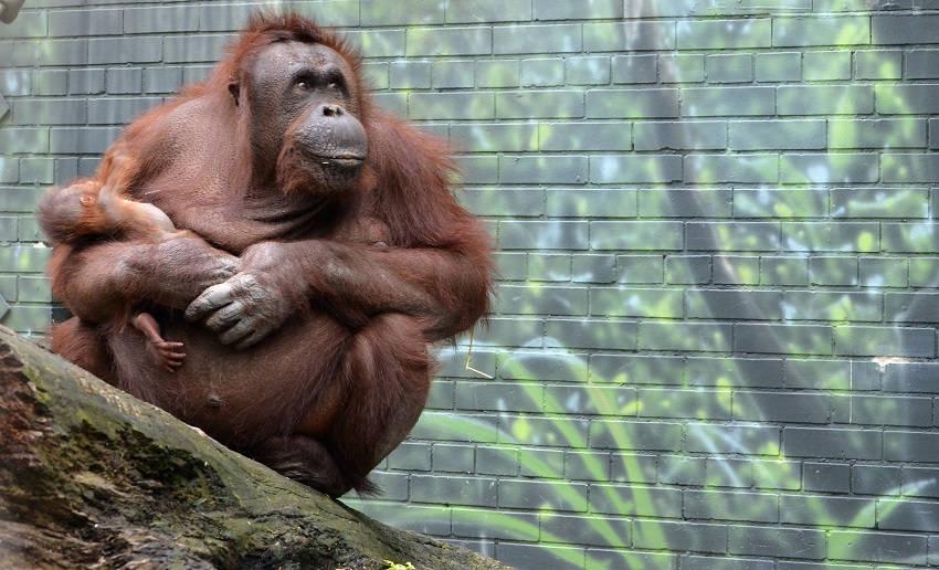 Bornean Orangutan endangered animals