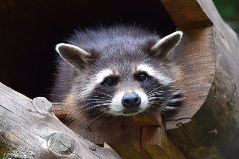 8 Fun Facts about Raccoons That Will Put a Smile on Your Face