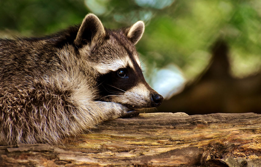 The Racoon Temperament and Traits