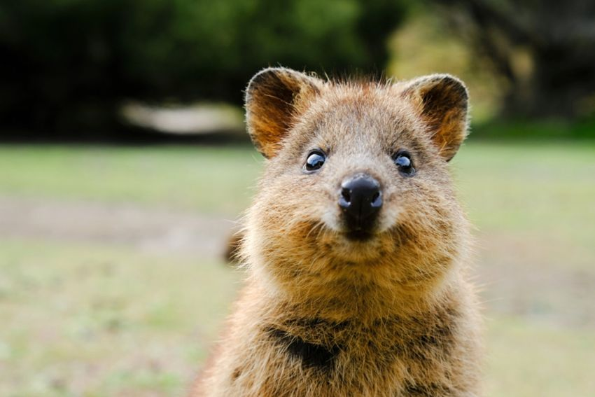 Quokka animal facts