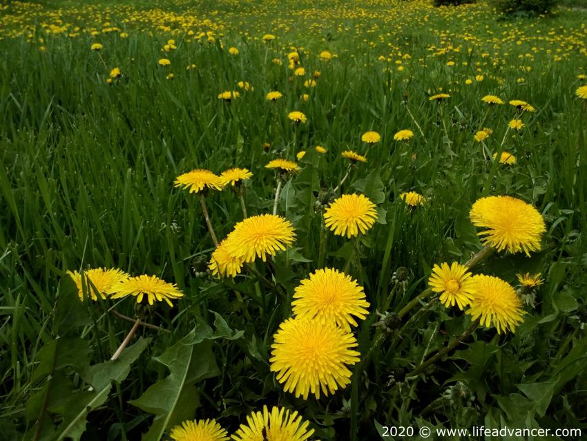 dandelions health benefits