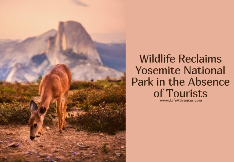 Wildlife Reclaims Yosemite National Park in the Absence of Tourists
