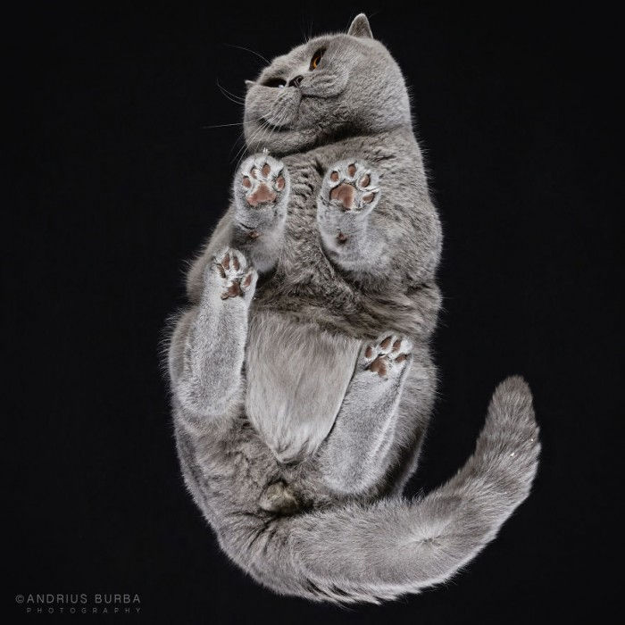 Chesihire-Cat