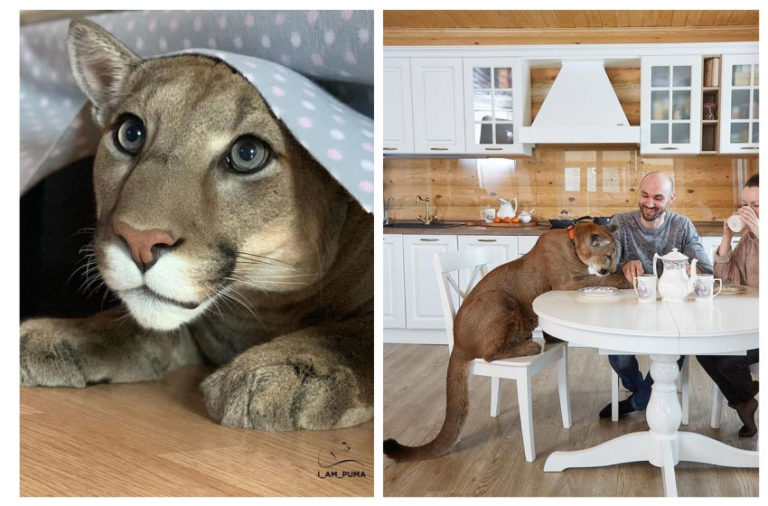 The Touching Story of Messi the Puma Who Lives as a Housecat in a Russian Family